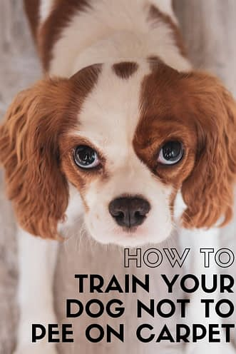 How To Train Your Dog NOT To Pee On Carpet